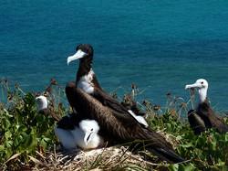 fragata-femea-e-juvenil- Abrolhos mini