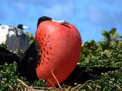 fragata-macho-Abrolhos mini