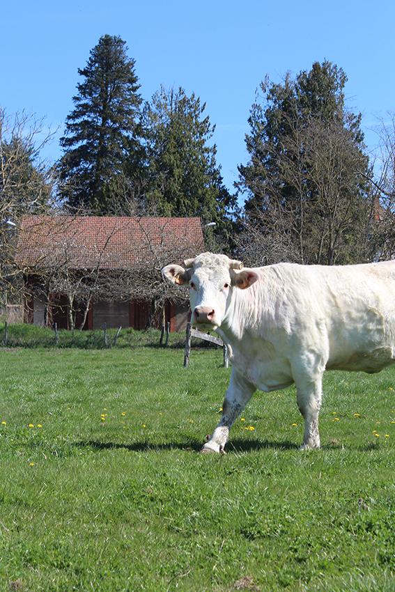 Vache charolaise