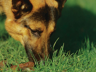 Bad Breath? The Social embarrassment of coprophagia