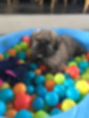 pup in ball pit.jpg