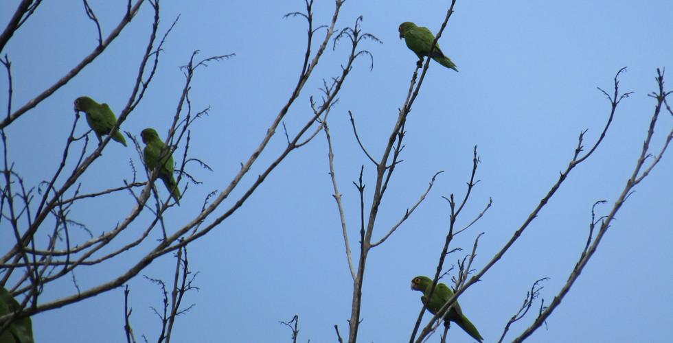 Orange-fronted parakeets (Eupsittula canicularis)