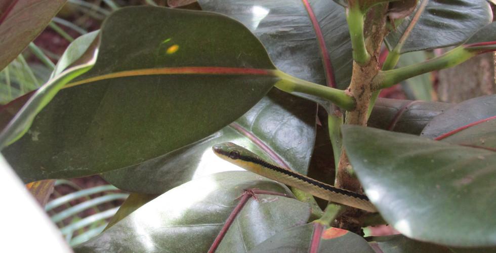 Striped lowland snake (Leptodrymus pulcherrimus)