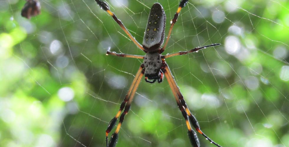 Orb-weaver spider (Trichonephila clavipes)