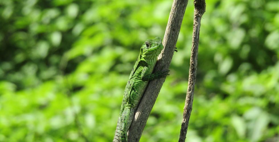 Juvenile black spiny-tailed iguana (Ctenosaura similis)