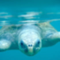 Sea turtle swimming in Ostional, Nosara, Costa Rica. Research. Wildlife Conservation