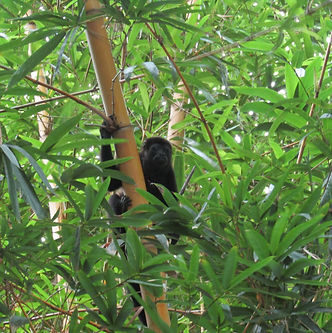 Biodiversity in Ostional, Nosara, Costa Rica. Research, Wildlife Conservation, Sustainable Development. Monkey on a tree