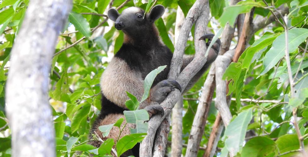 Northern tamandua anteater (Tamandua mexicana)