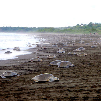 Thousands of sea turtles laying eggs durig a mass-nesting event called Arribada in Ostional, Nosara, Costa Rica