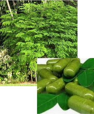 Moringa_tree.png