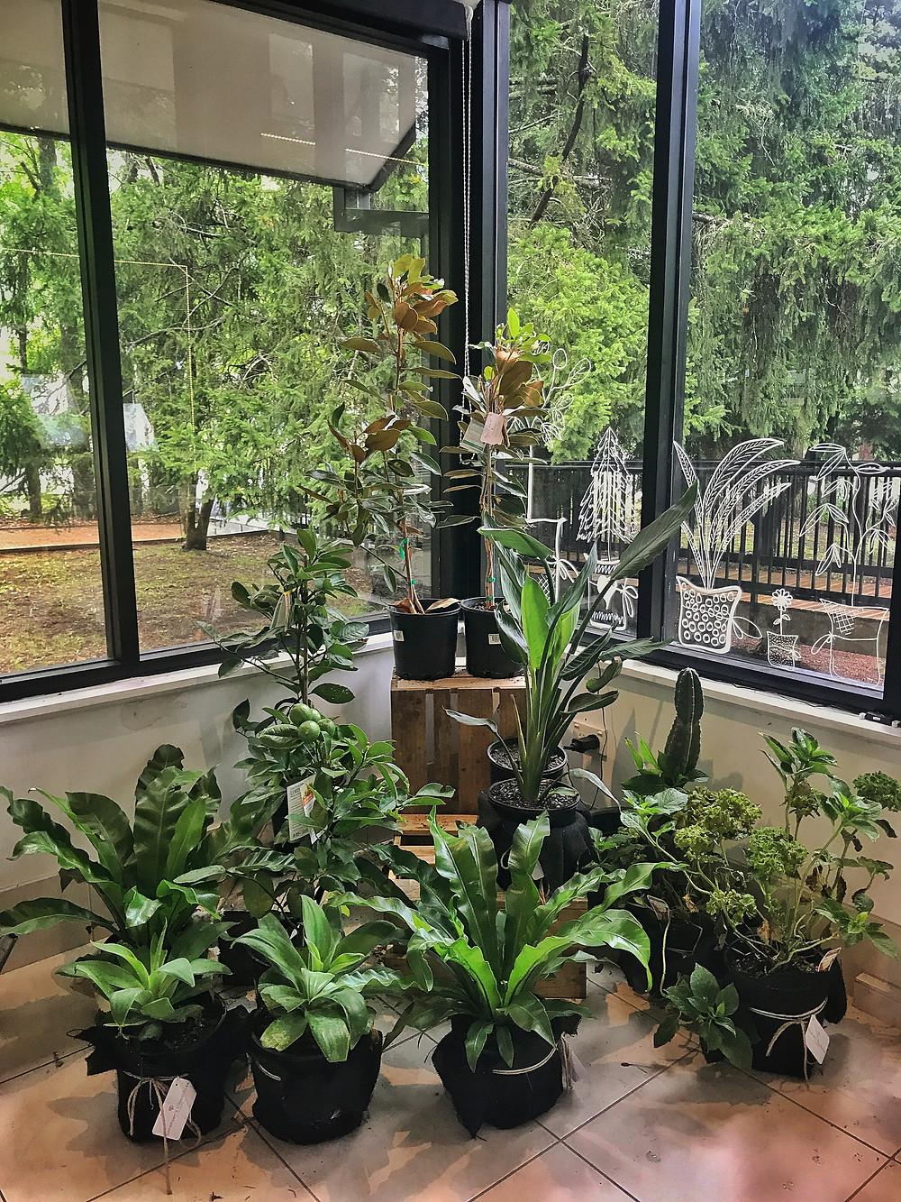 Clovar-creative-sorensen-glasshouse-and-garden-leura-buy-plants