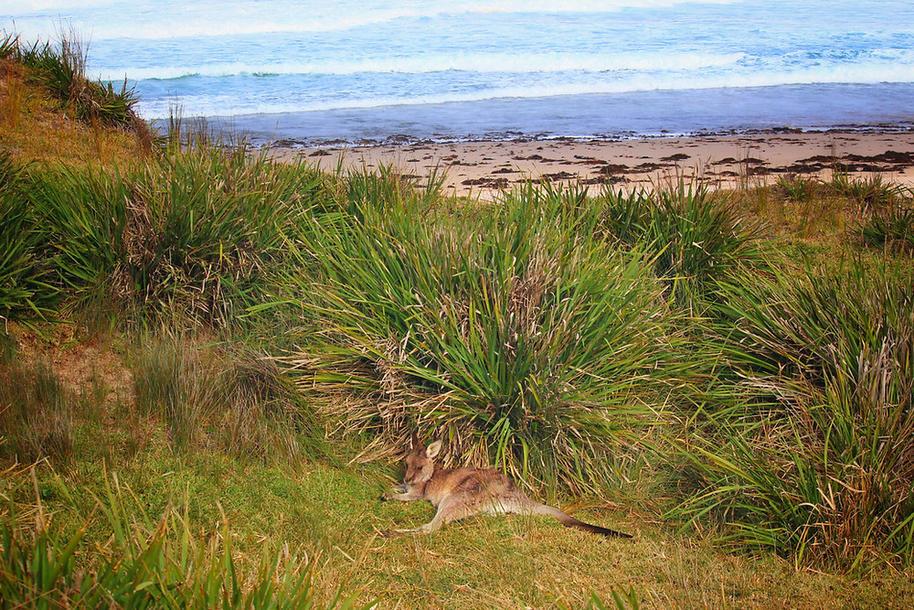 Clovar-creative-tallarook-tiny-house-Pretty-beach-kangaroos