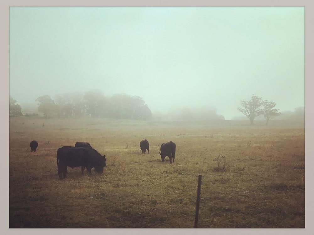 clovar-creative-robertson-burrawang-southern-highlands-road-trip-cows-farms