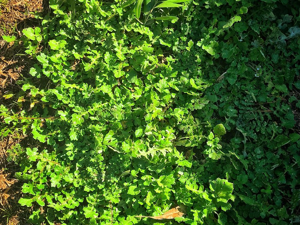 forage-workshop-inner-west-sydney-diego-bonetto-clovarcreative-close-up-weeds
