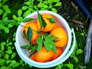 Pick your own mandarins- Watkins Family Farm