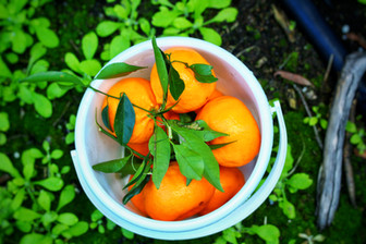Pick your own mandarins- Watkins Family Farm