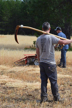 Oat harvest with the scythe and the walk