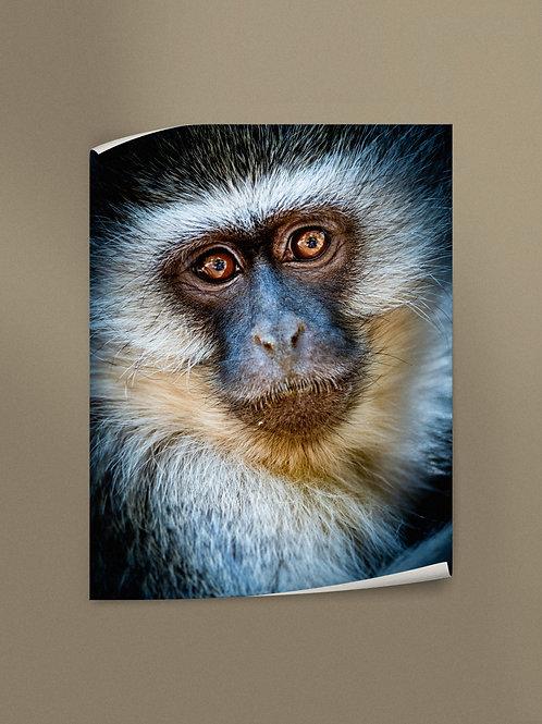 Vervet Monkey Portrait | Poster