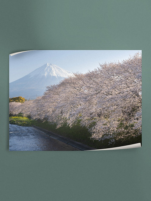 Cherry blossoms and Mt. Fuji. | Poster