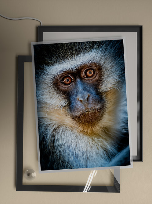 Vervet Monkey Portrait | Film Insert