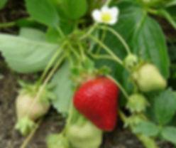 Strawberry-plant1.jpg