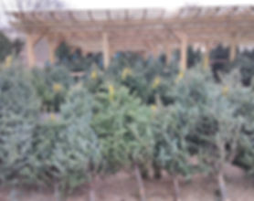 trees1).jpg