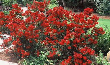 crapemyrtleredmagic1.jpg