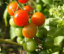cherry-tomatoes-growing-with-basil-web.j