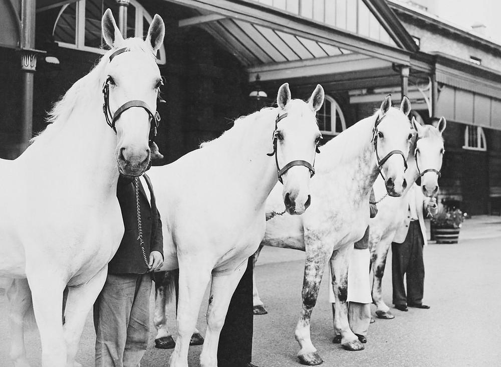 Four Royal Grey horses c. 1940 - 1960 The Royal Mews, London.