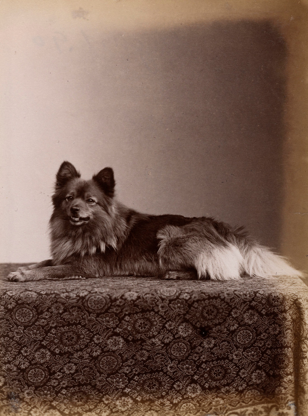 'Marco', Queen Victoria's pet Pomeranian dog