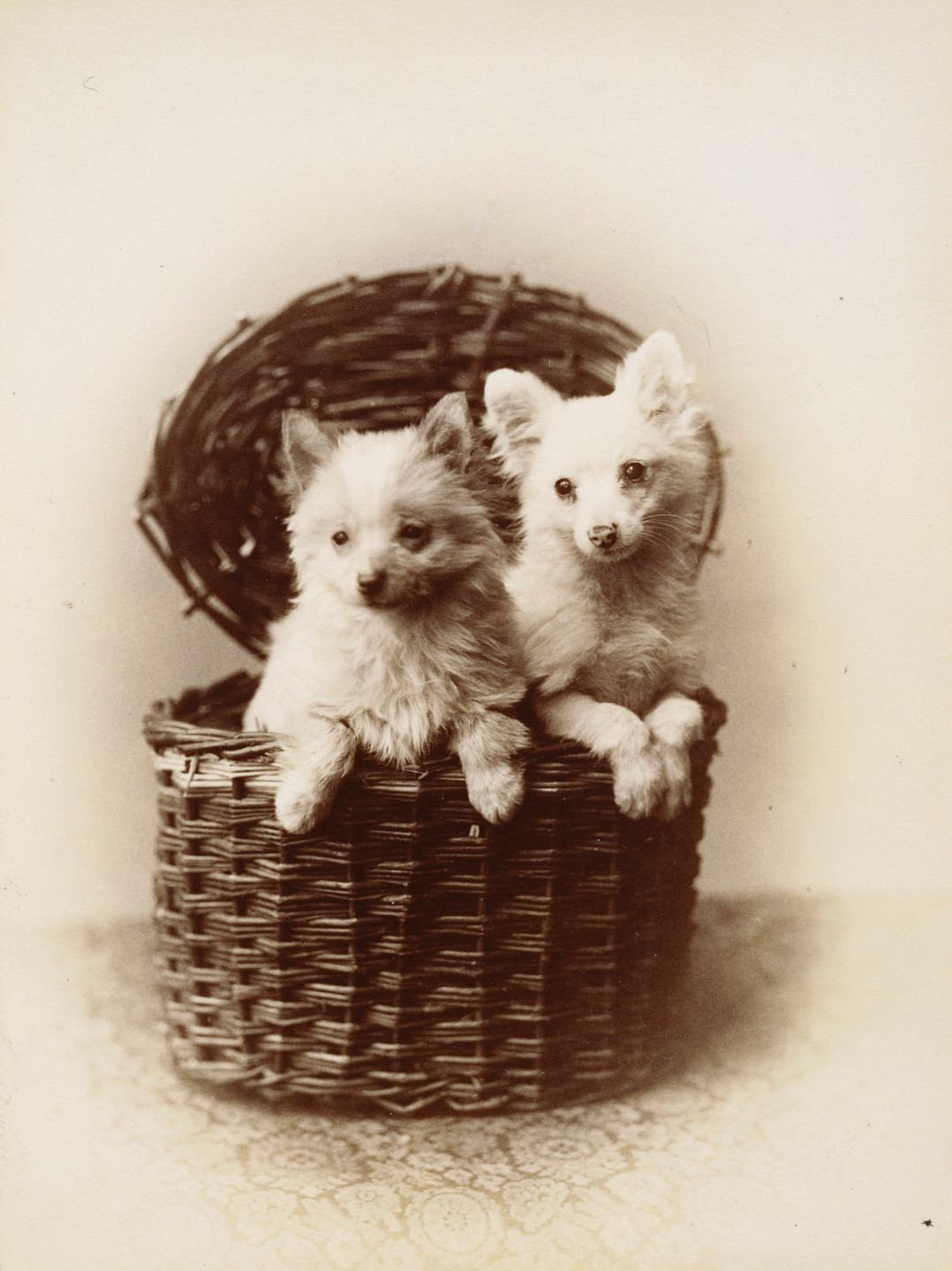 Pommeranians Lina & Beppo 1888. Dogs belonging to Queen Victoria