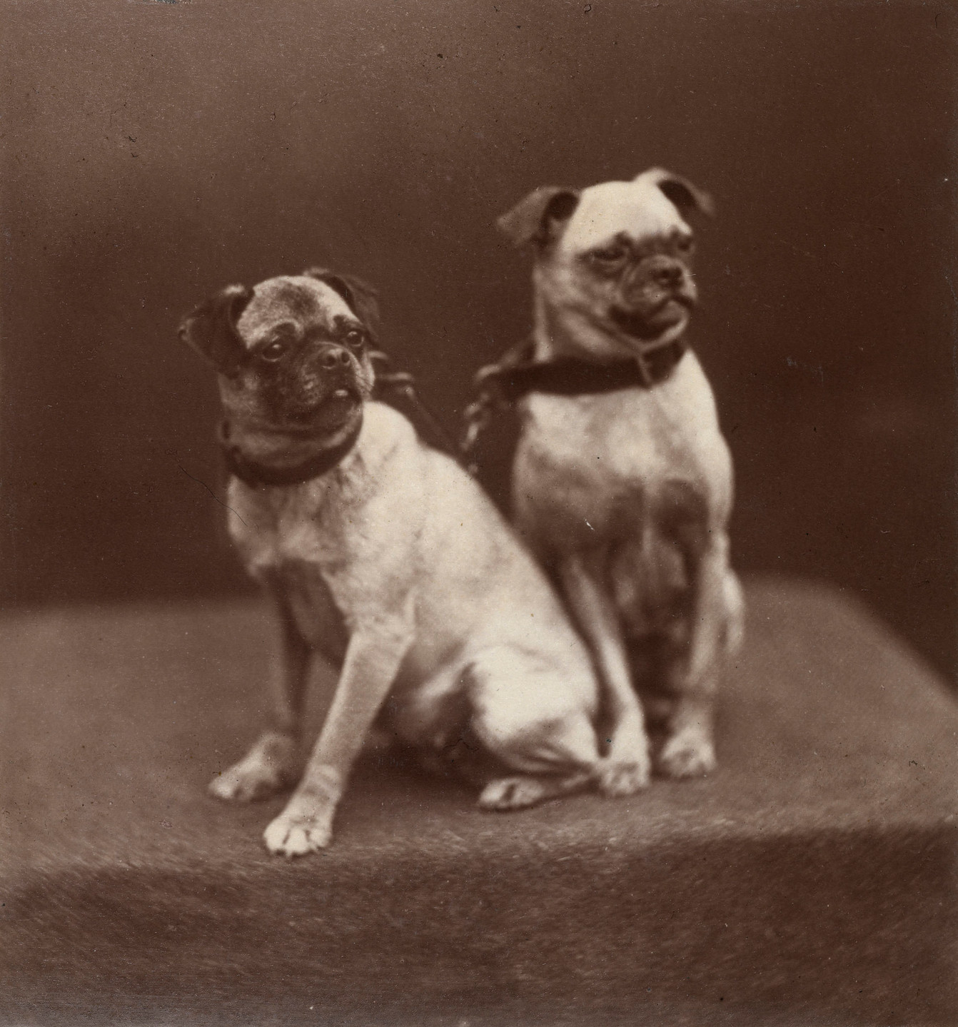 Topsey and Minnie, Queen Victoria's pet dogs, 1877 Mar 1877