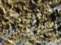 Organic Lavender Leaf