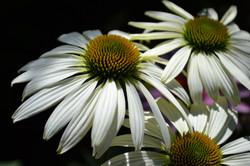 white echinacea Nana's garden