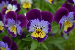 purple and yellow panises