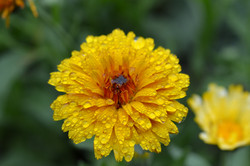 Yellow Calendula laden with drops
