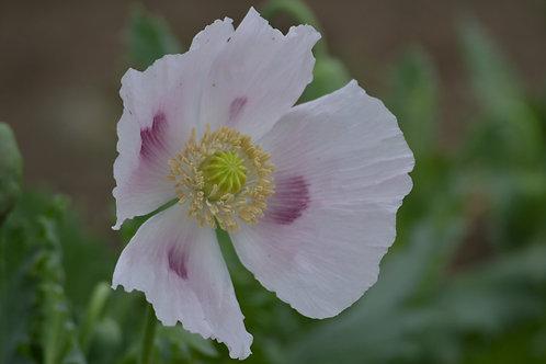 Lavender poppy (p. somniferum)
