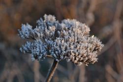 frosty seed head