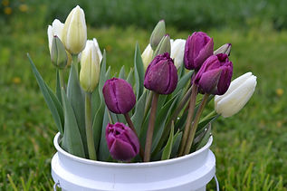 tulips in bucket 2020.JPG