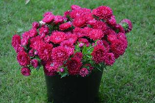 Cerise aster flowers in bucket.JPG