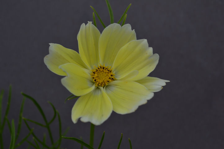 Xanthos yellow bloom with black backgrou