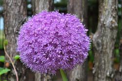 orrnamental onion
