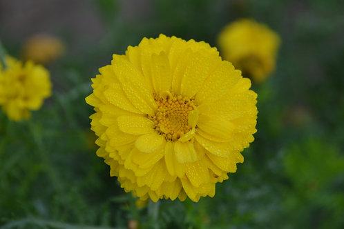 Annual chrysanthemum