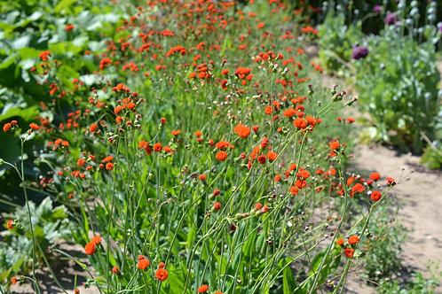 Red Tassel Flower