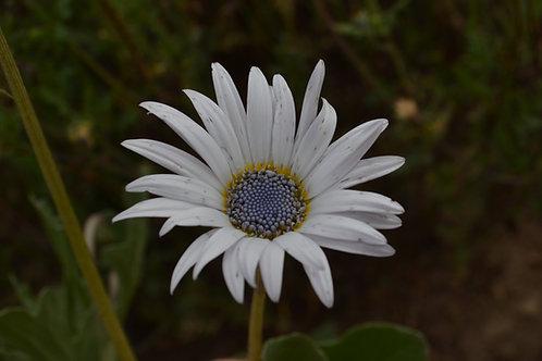 Arctotis grandis (African Daisy)