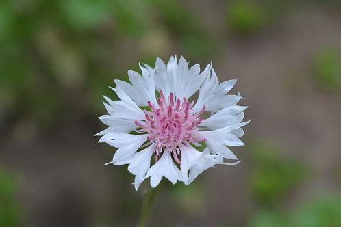 Cornflower (centaurea) Classic Romantic Mix
