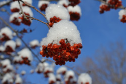Mountain ash berries topped in snow