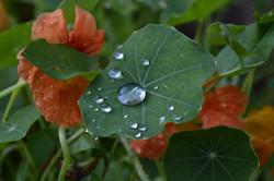 nasturtium leaf after the rain