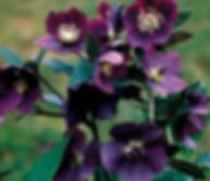 helleborus-hybrid-blue-lady-julerose_edi