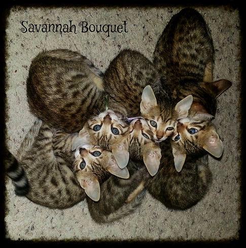 Savannah Cat information